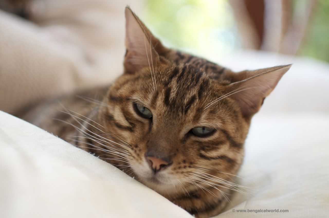 In Common With Most Tabby Cats Bengals Have A Clear M On The Forehead Description From Bengalcatworld C Bengal Cat Facts Cat Having Kittens Bengal Cat