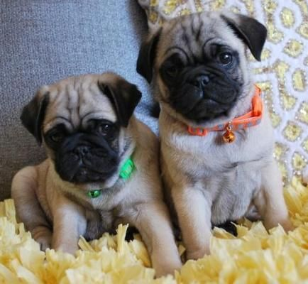 Male And Female Pug Puppies For Sale In Los Angeles Petzlover