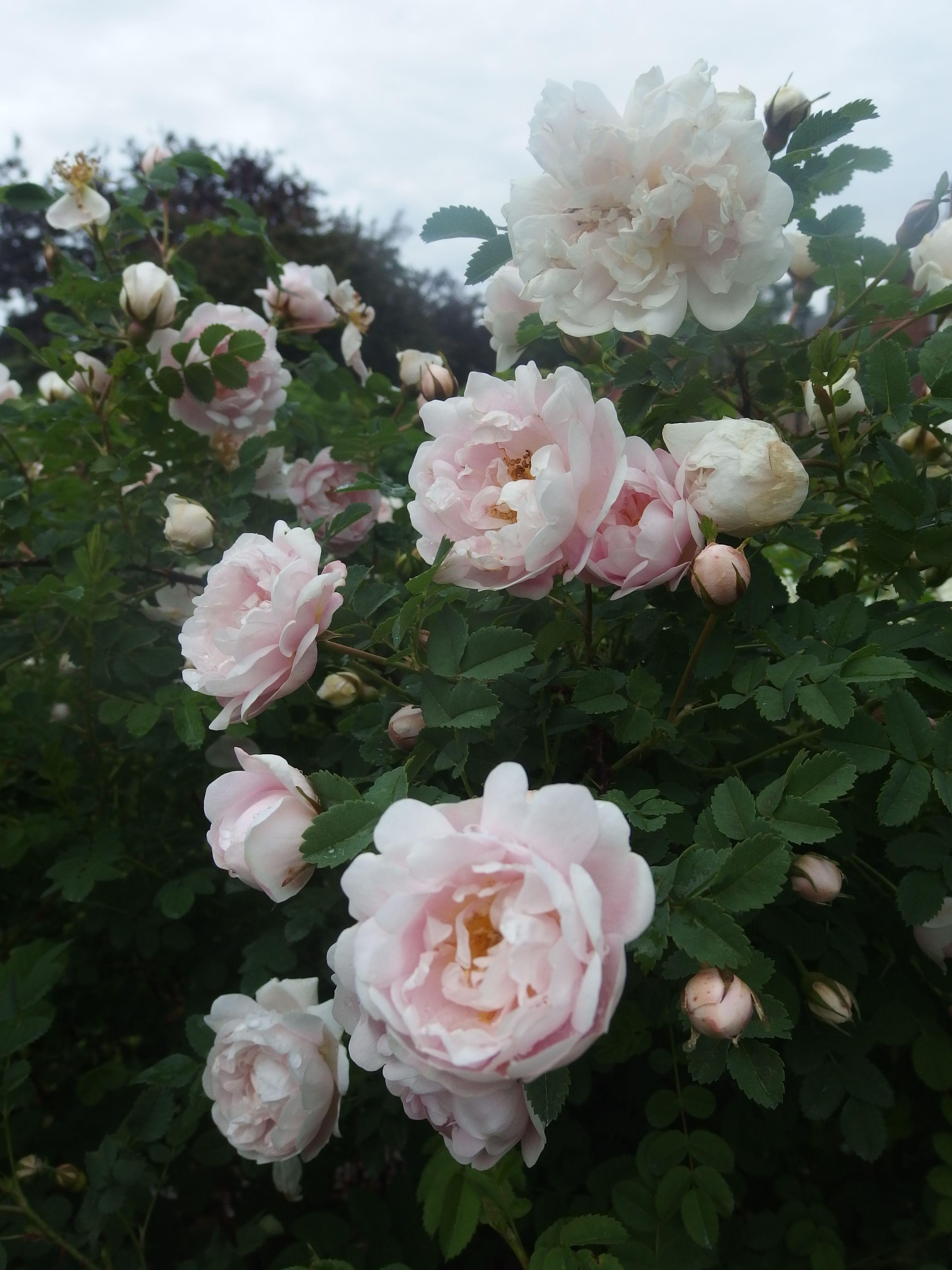 Kaunis vaaleanpunainen ruusu