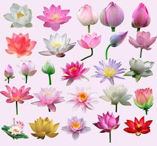 Edit Your Photos Indian Lotus Water Lily Clip Arts Psd Files