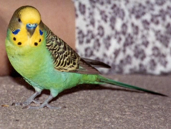 Violet, the manly budgie!