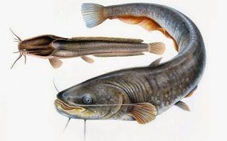 Contoh Umpan Ikan Lele Galatama Umpan Ikan Lele Harian Umpan Ikan Lele Jitu Umpan Ikan Lele Liar Umpan Ikan Lele Malam Hari Umpan Ikan Lel Ikan Binatang Kucing
