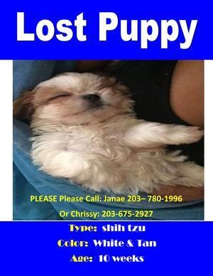 Stolen Shih Tzu In New Haven Ct Usid 529238brooklyn Female Tan
