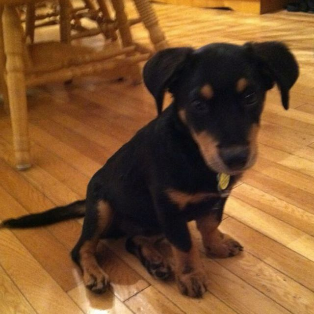 Dachshund Rottweiler Mix Adorable Rottweiler Mix Dachshund Mix