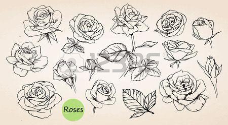 Set Von Hand Gezeichnet Rosen Vektor Rose Zeichnung Rose Illustration Rosenzeichnungen