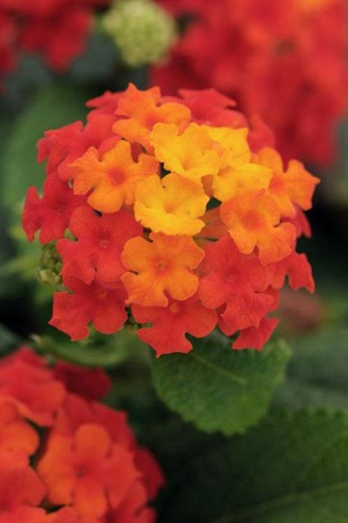 Flowers Plants That Attract Birds Butterflies Roger S Gardens With Images Lantana Plant Lantana Perennial Plants