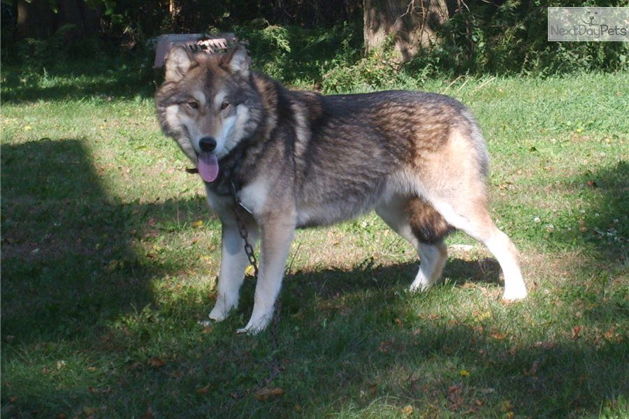 German Shepard Wolf Hybrid Timber Wolf 1 2 German Shepherd