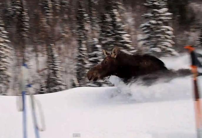 Moose speeding by skiers.   Fastforward to 1 min unless you enjoy watching people gnosh on bagels.  :)