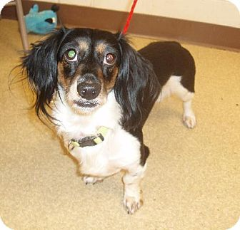 Vancouver Wa Dachshund Mix Meet Lana An Adorable Long Haired