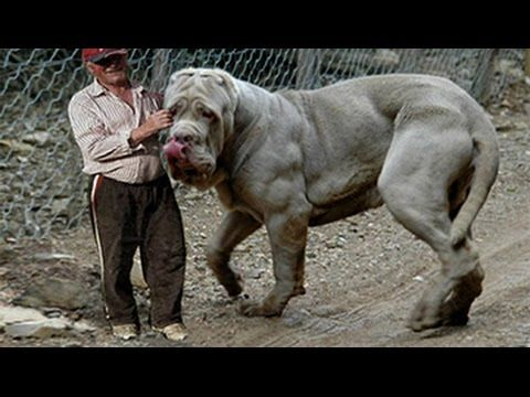 Top 10 Strongest Dog Biggest Guard Dogs In The World Dangerous Dogs Giant Dogs Huge Dogs