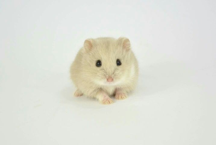 Cute little hamster