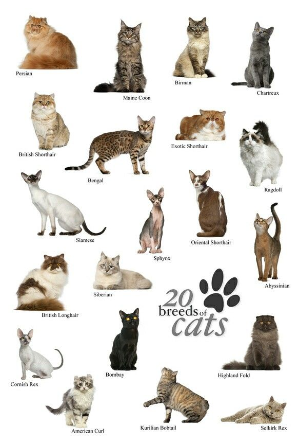 Pin By Marie Doddridge On I 3 Cats Cat Breeds Different Breeds Of Cats Cat Breeds Chart