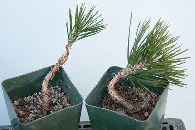 Strange Wiring 3 Year Old Black Pines Bonsai Techniques Pine Bonsai Wiring Digital Resources Jebrpcompassionincorg