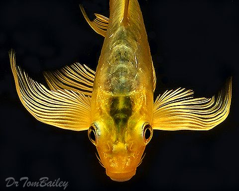 Gold butterfly koi fishes make wishes pinterest for Live japanese koi fish for sale