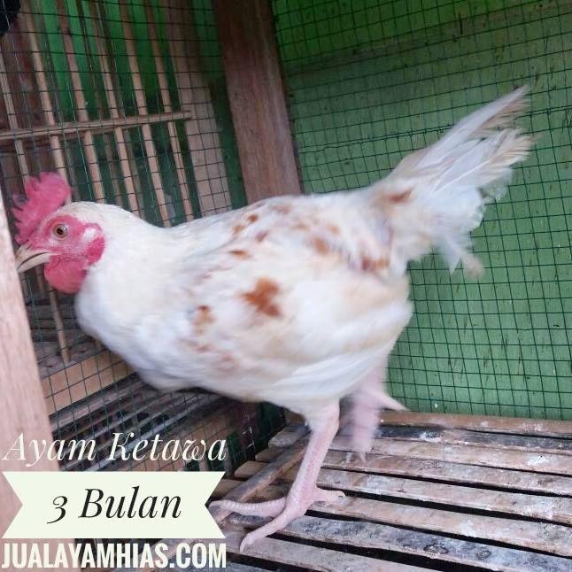 Ayam Ketawa 3 Bulan Jantan Siap Kirim ke kediaman Bapak Ngudiyono di Yogyakarta