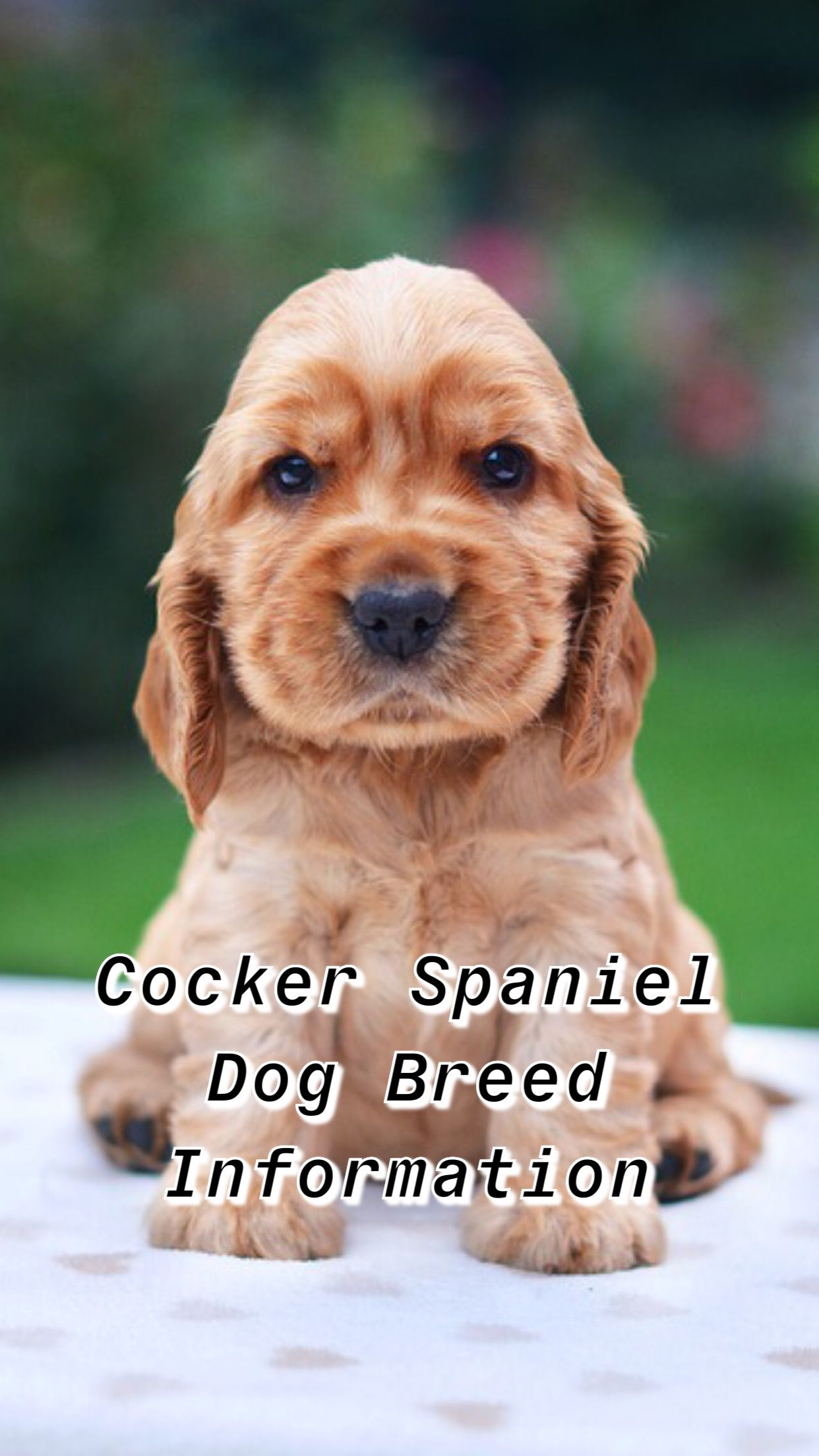 Cocker Spaniel Dog Breed Cocker Spaniel Breeds Cocker Spaniel Dog Spaniel Breeds