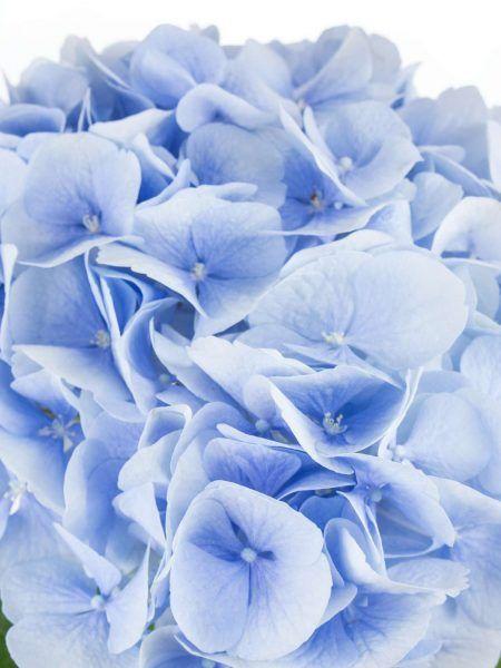 hortensie verena blau hell blau hochzeit blau pinterest blau blumendeko hochzeit und. Black Bedroom Furniture Sets. Home Design Ideas