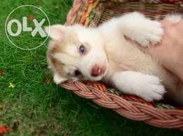 Siberian Husky Puppies P13k Husky Puppy Husky Puppies For