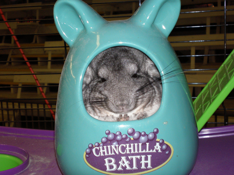A Chinchilla Cleans Itself By Having A Vigorous Dust Bath Omg