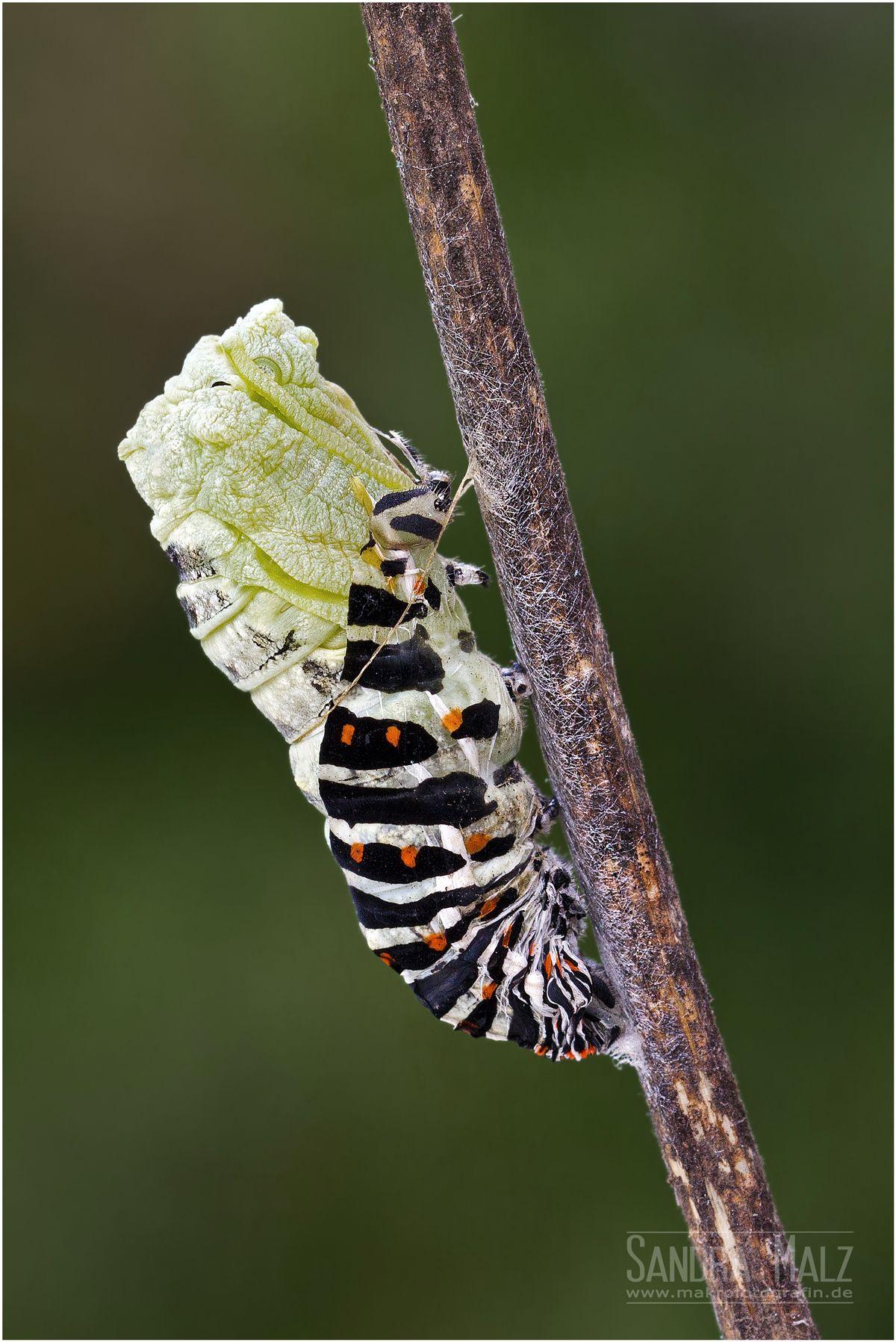 Schwalbenschwanz Papilio Machaon Bei Der Verpuppung Chenille