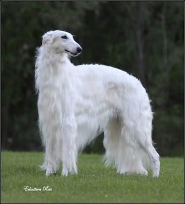 Canadian Boyzoi - MBISS Can. Ch. Bon Jour Stepowy Goniec. Borzoi Dog:   Owner Linda Falkener and co-owner Merla Thomson of Canada.  (originally from...Stepowy Goniec Kennel, Poland breeder: Kazimierz Rychlik).