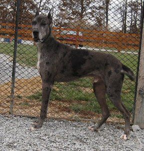 Pin By Harlequin Haven Great Dane Rescue On Hhgdr Sanctuary Dogs