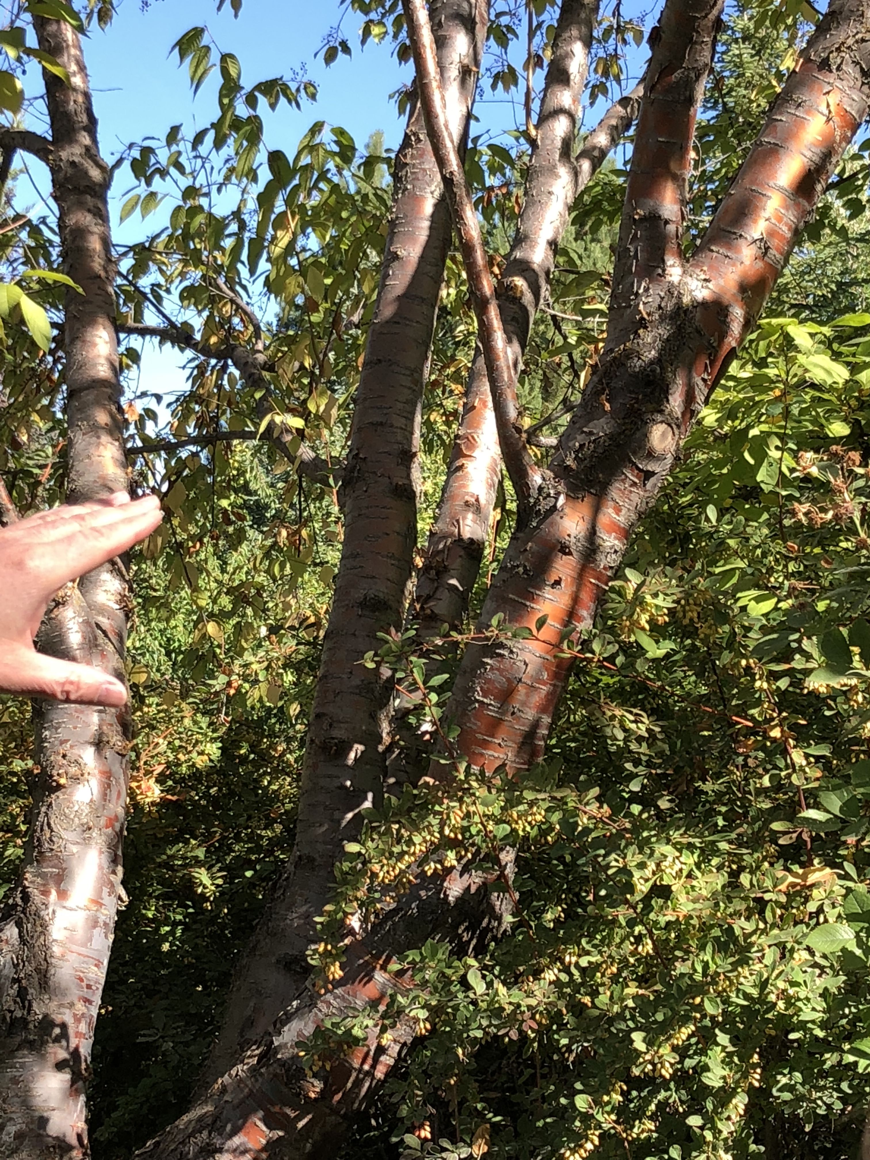 Prunus Maackii Or Amur Chokecherry Zone 3 This Tree Is 20 30 Feet High And 20 Feet Wide At Maturity This Tree Has A Great Winter Bar Tree Cherry Tree Plants