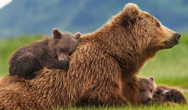 Sky, Amber & Scout (disney nature) | Brown bear, Bear gallery, Bear
