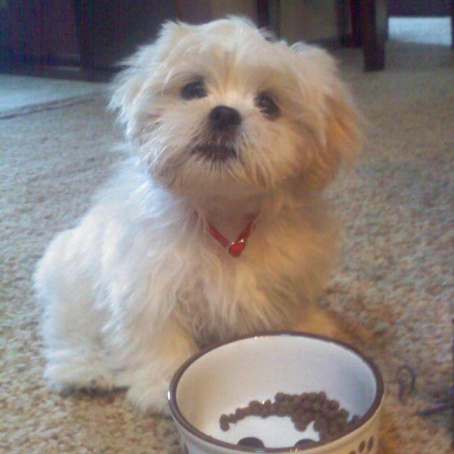 This handsome puppy is Barkley Beauregard Morgan, a Lhasa Apso. What a cutie!