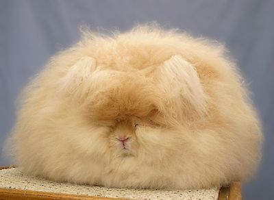 2006 Best in Show English Angora Rabbit - Betty Chu