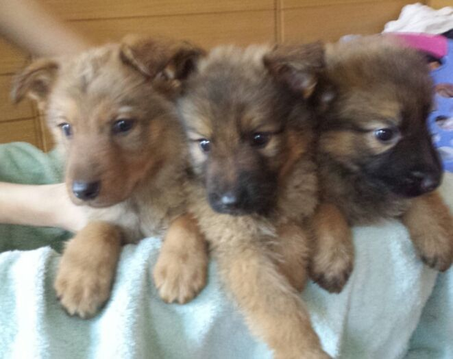German Shepherd X Czech Wolf Dog For Sale Sheffield South Yorkshire Pets4homes Wolf Dogs For Sale Wolf Dog Dogs For Sale