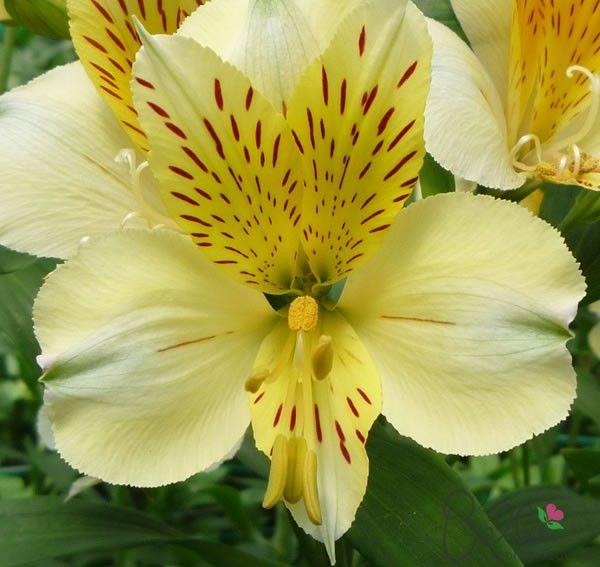 Pin On Peruvian Lilies