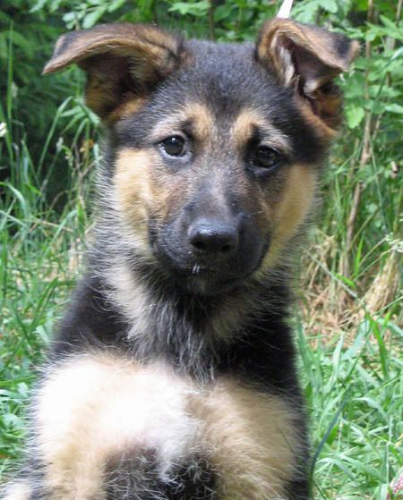 Time Lapse Of A German Shepard From Puppy To Adult Puppies Dog