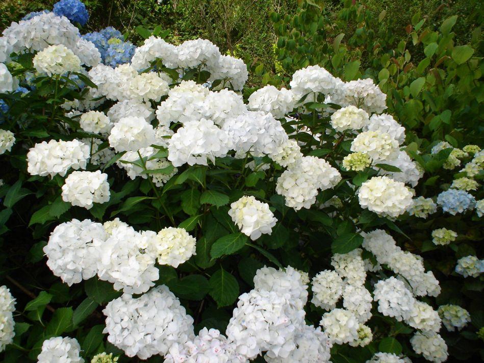 Hydrangea Macrophylla Bridal Bouquet Hydrangea Macrophylla Hydrangea Bridal Bouquet Shrub Roses