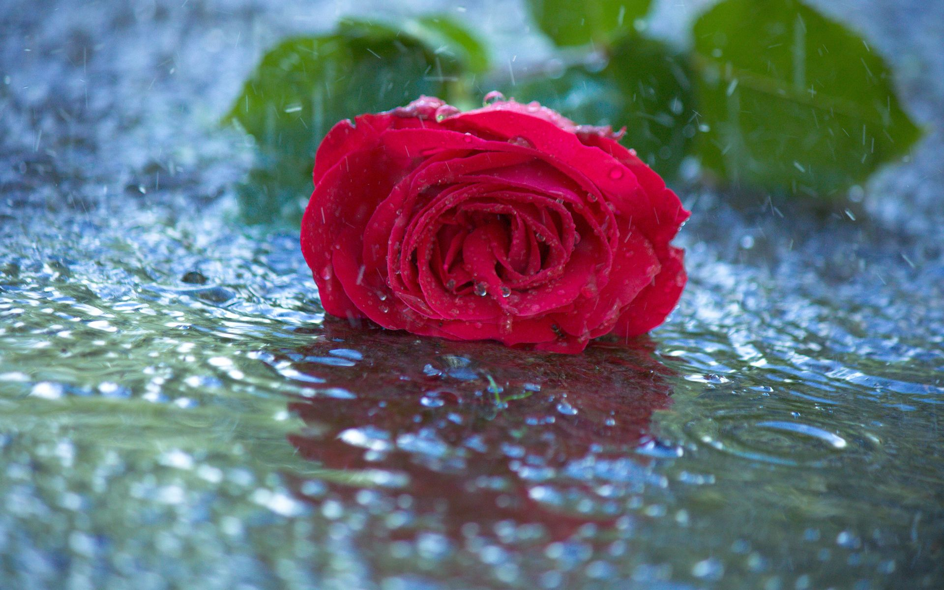 Red Rose In Rain Wallpapers Pictures Photos Images Fotografi