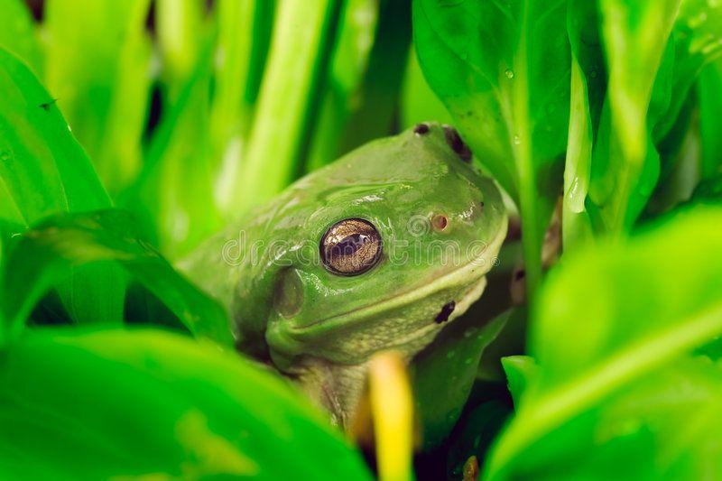 Green tree frog In lush foliage