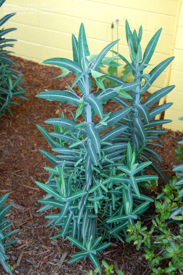Gopher Spurge Or Caper Spurge Mole Repellent Plant Euphorbia Lathyris Plants Trees To Plant Unique Plants
