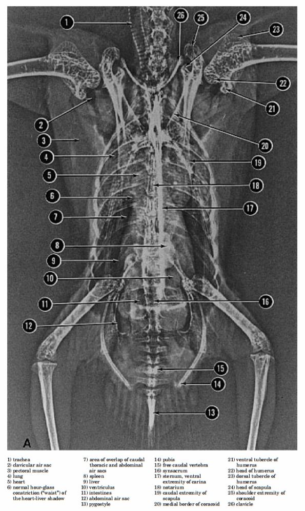 Xray of avian torso with annotations cockatiels pinterest xray of avian torso with annotations ccuart Choice Image