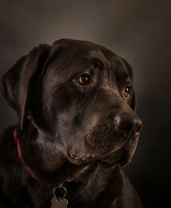 Pin By Tanja Urban On Schone Tiere 64 In 2020 Lab Dogs Dogs Labrador Retriever Puppies