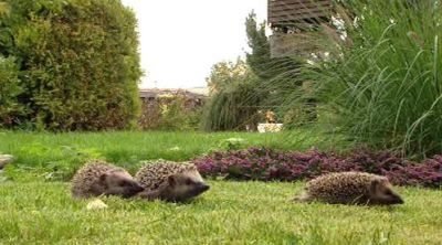 hedgehog race
