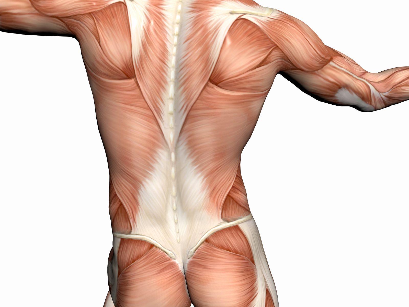 muscle anatomy Dry needling