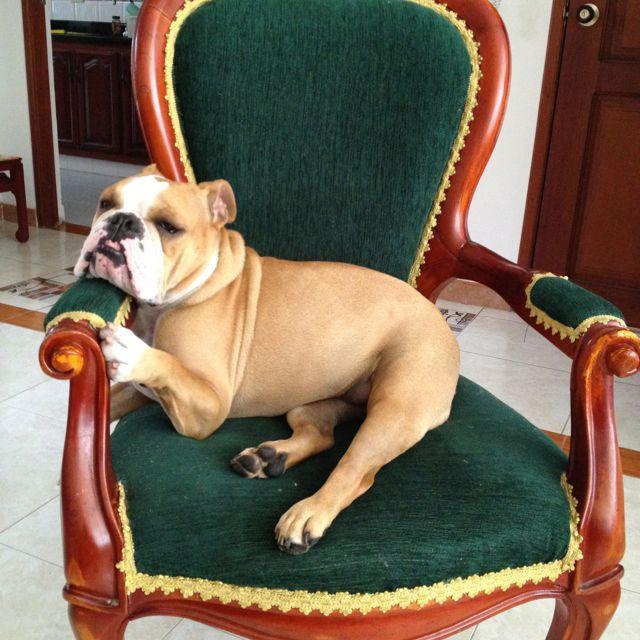 El Trono Bulldog English Bulldog French Bulldog