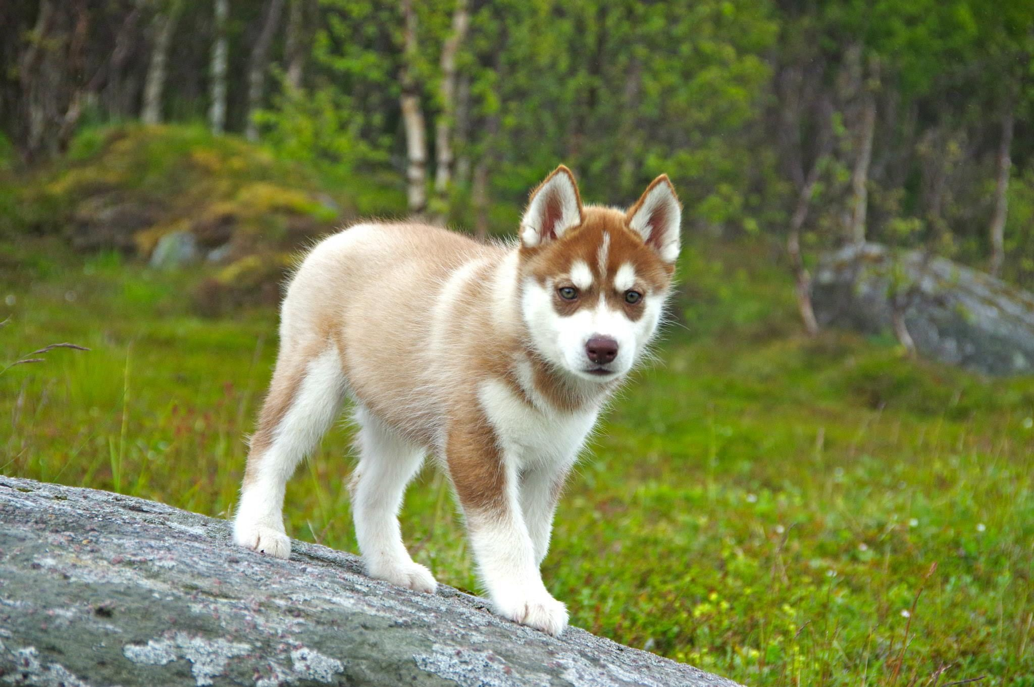 Adorable Red Siberian Husky Puppy Red Husky Puppies Siberian