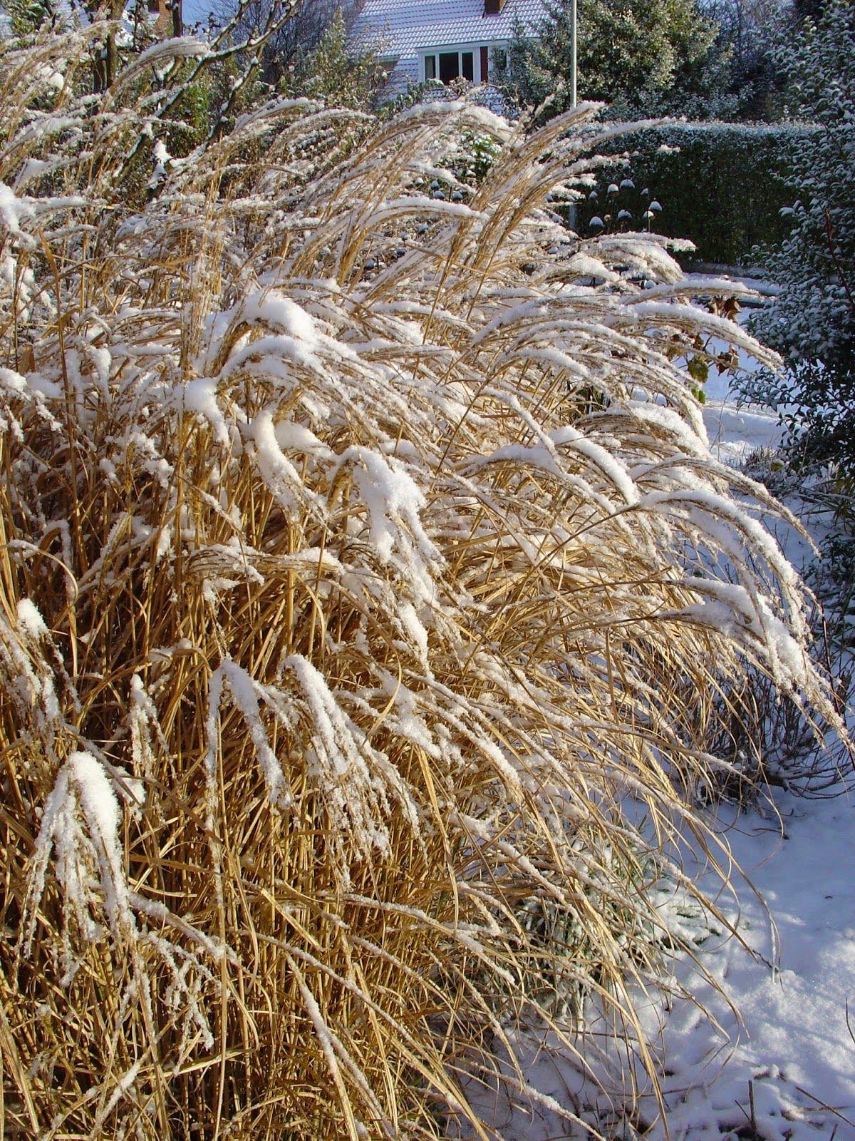 Miscanthus sinensis in the snow garten hecke Pinterest