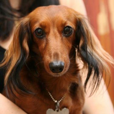 Pretty Girl Doxie Wiener Dog Dachshund