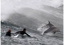 Image: Surfers wait for waves as dolphins jump around them in Sydney, Australia (© Daniel Munoz/Reuters)