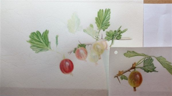 Polly O'leary: watercolour gooseberries on vellum
