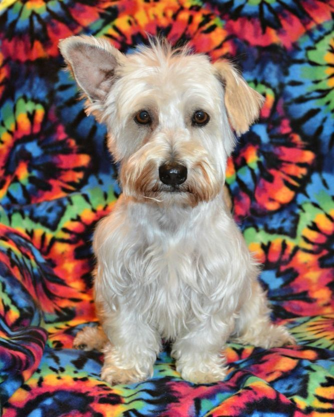 Adopt Jasper Westie Mix on Poodle mix dogs, Foster dog