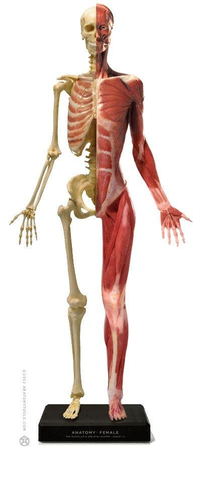 Female Skeletonmuscles Anatomy Figure Study Pinterest