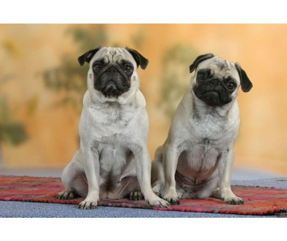 Do One Thing Every Day That Scares You Pug Pugfight